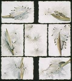 exploded pods and seeds of butterfly weed on white background, 7 paintings arranged over black